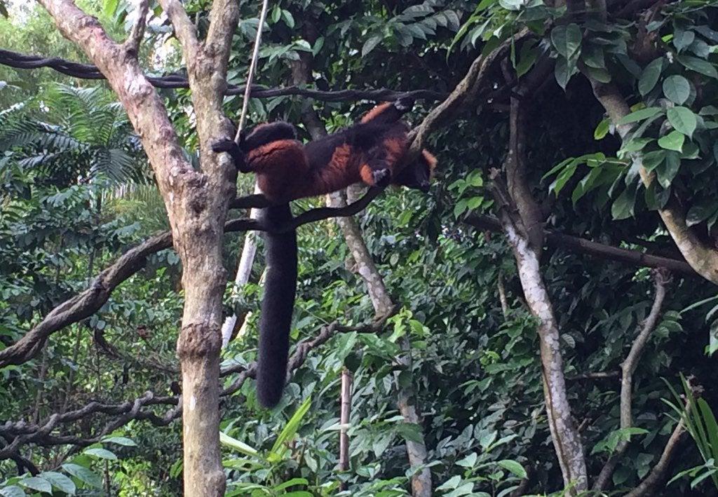 lemur red-ruffed-lemur