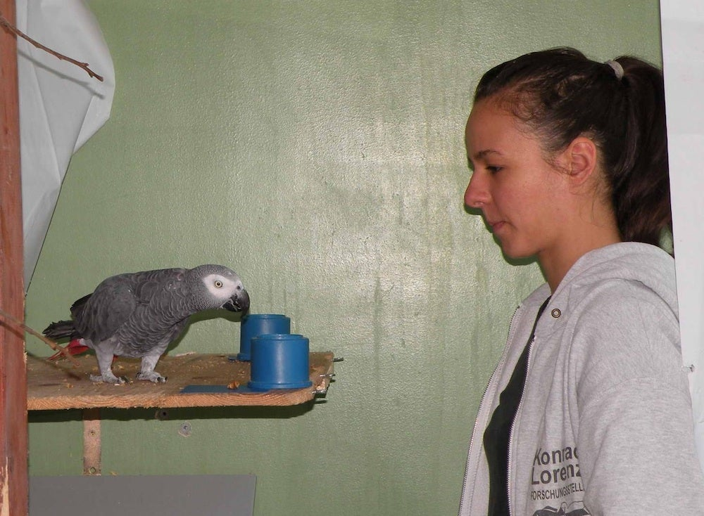 Grey parrots shown to have the reasoning skills of toddlers