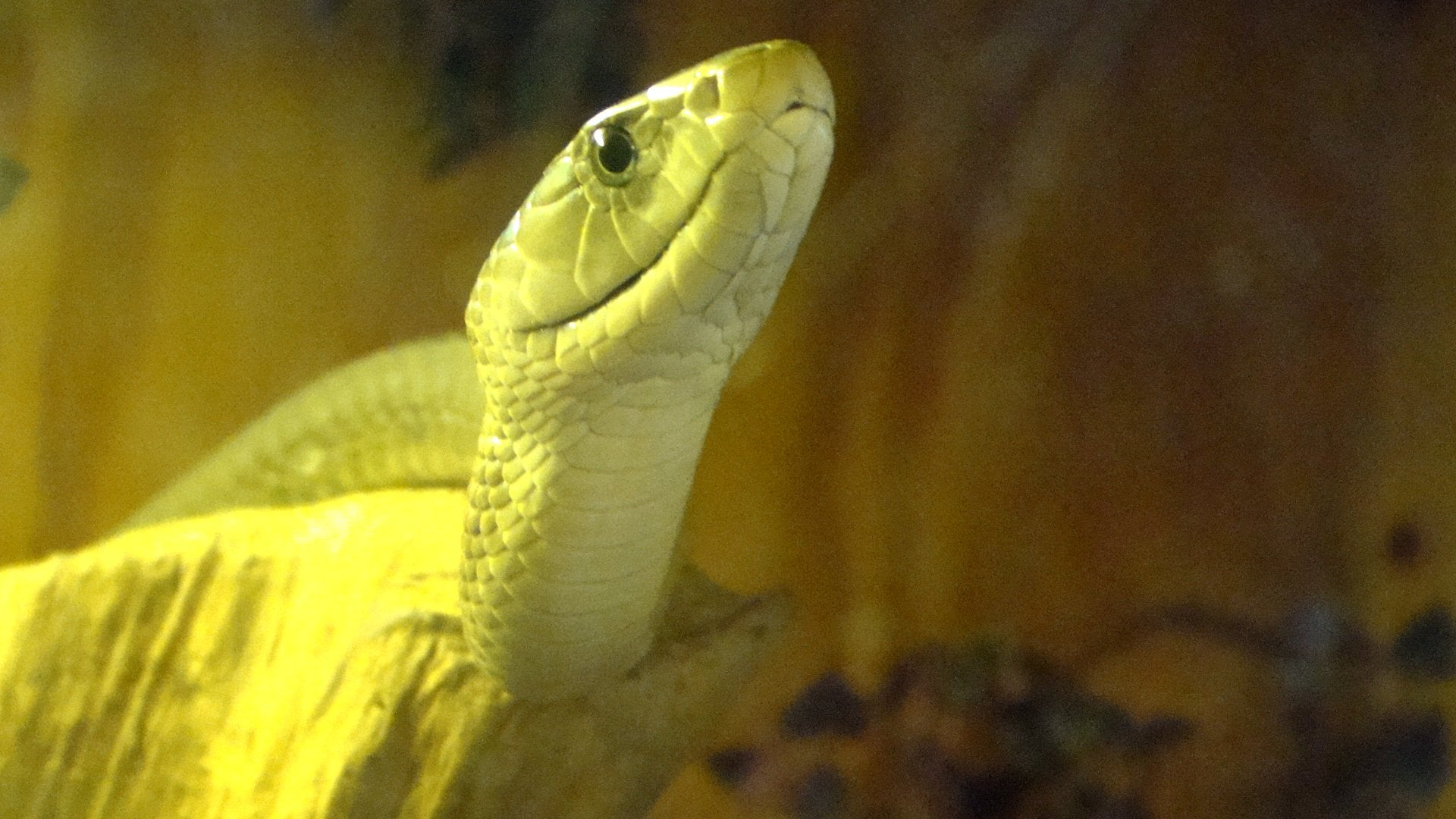 Snake Venom Might Actually Be a Better Painkiller Than Morphine