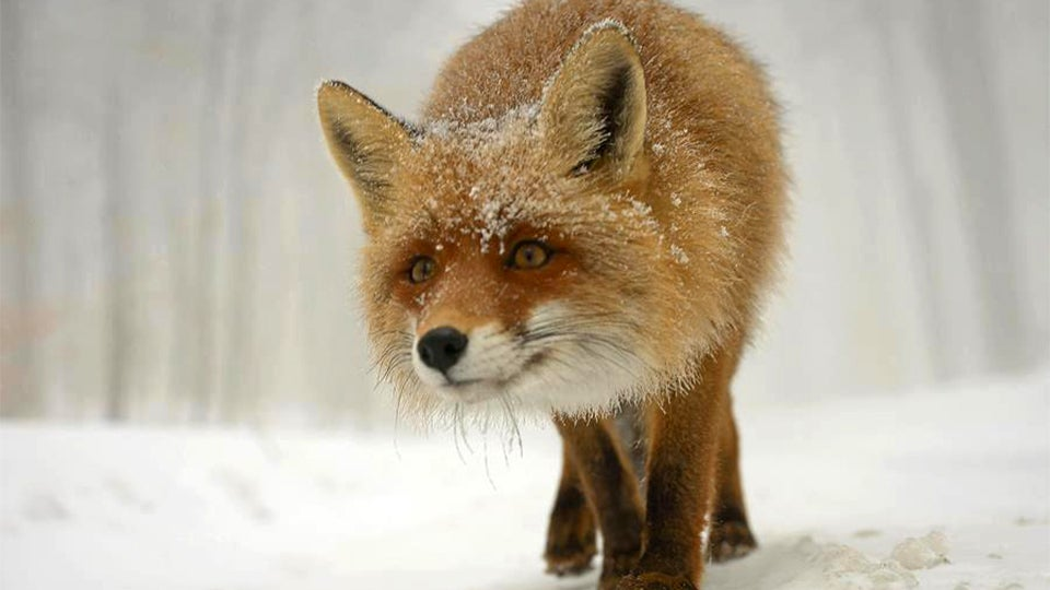 These Awesome Photos of a Fox Will Make You Go Aaaaawwwww