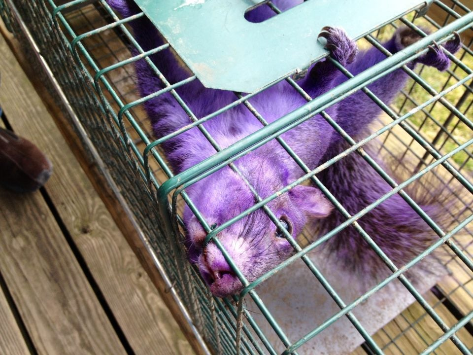 Purple squirrel running rampant through Pennsylvania