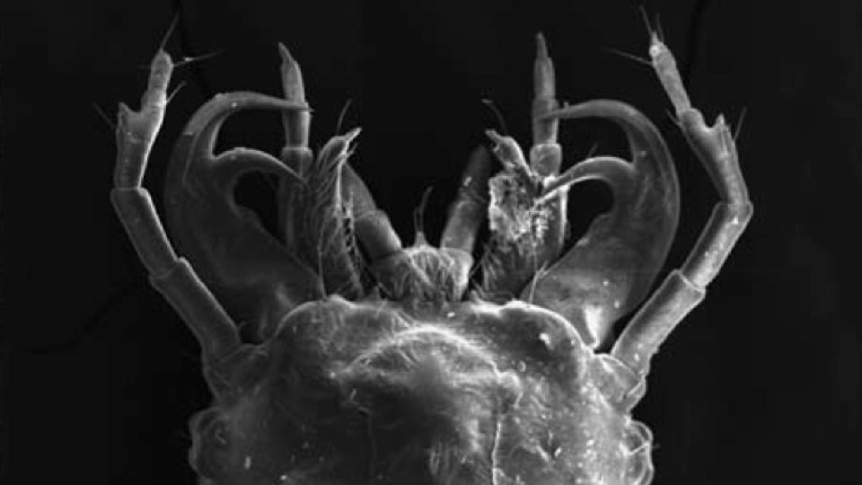 This beetle larva tricks its predator into becoming prey