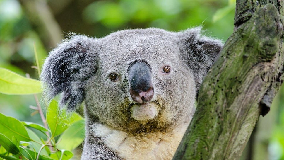 australia biology chlamydia culls endangered-species koalas sexually-transmitted-diseases