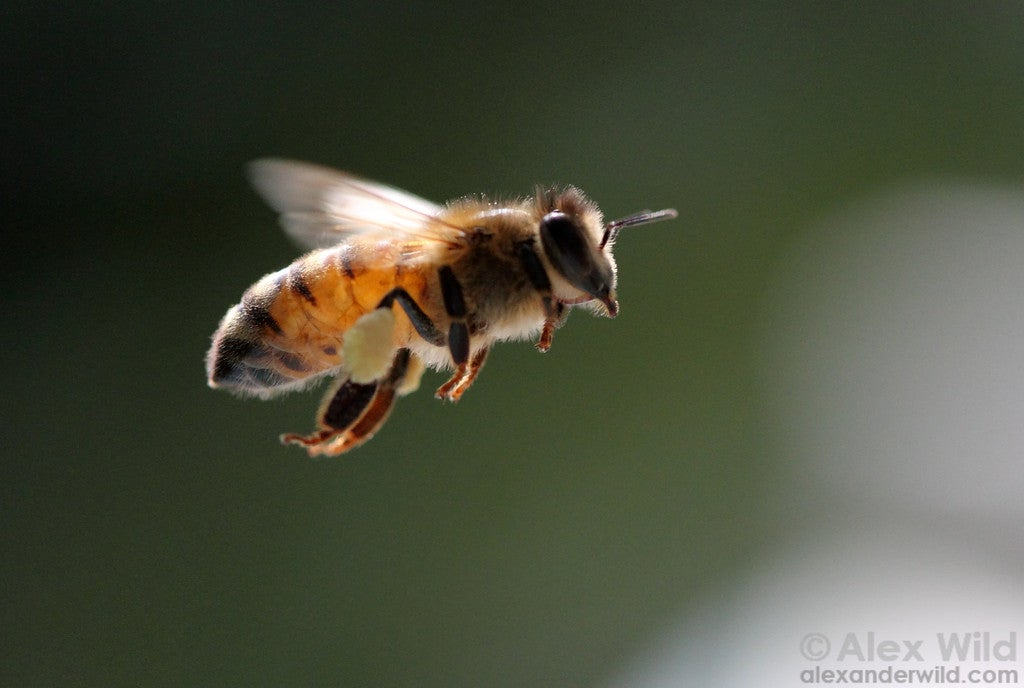 Honeybees reveal that evolution is stranger than you ever realized