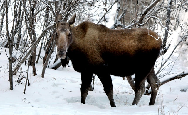 Now's Your Last Chance to Tase a Moose in Alaska