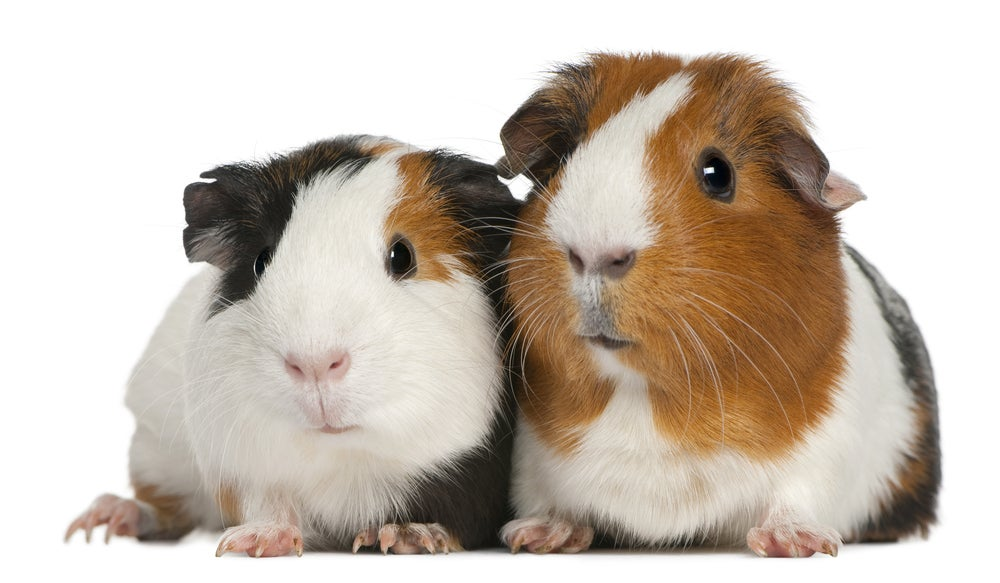 Marijuana Operation Turns Out to Be Guinea Pigs