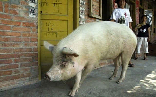 "China Creates ""Infinite Hero Bacon"" by Cloning Invincible Earthquake Pig"