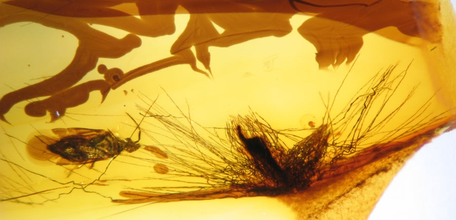 Dinosaur Feathers Discovered in Canadian Amber