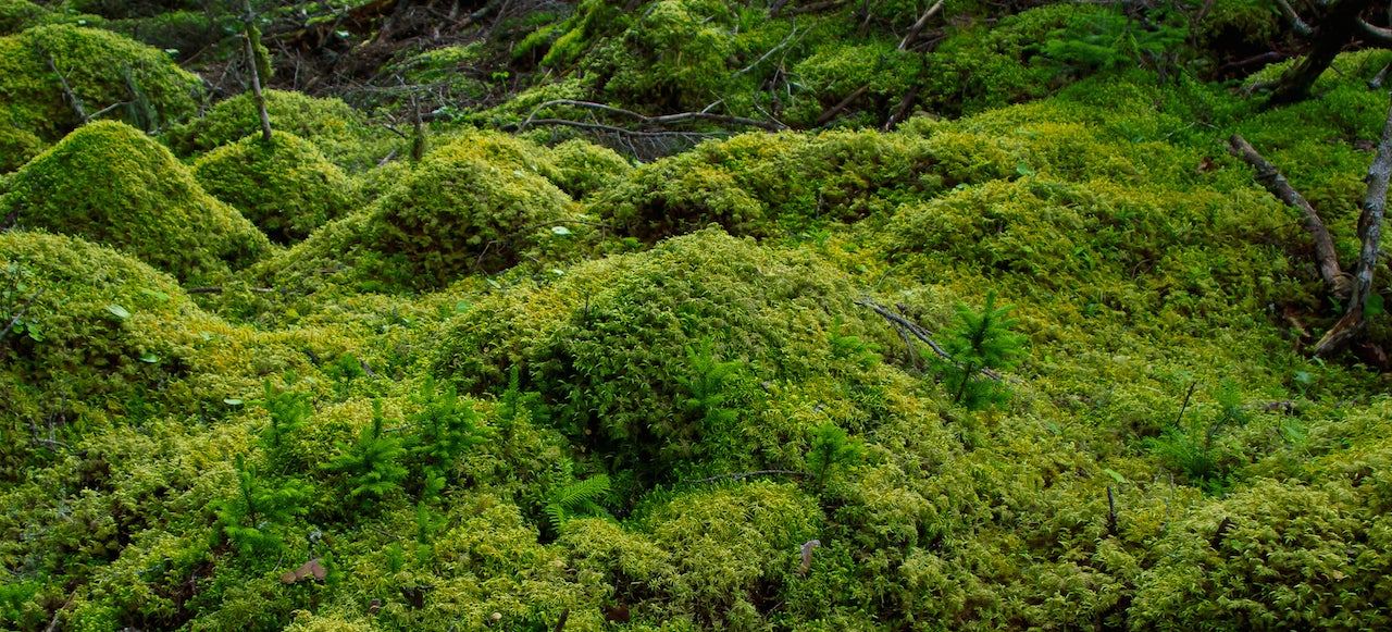 Scientists Revive Moss That Was Encased In Ice For 1,500 Years
