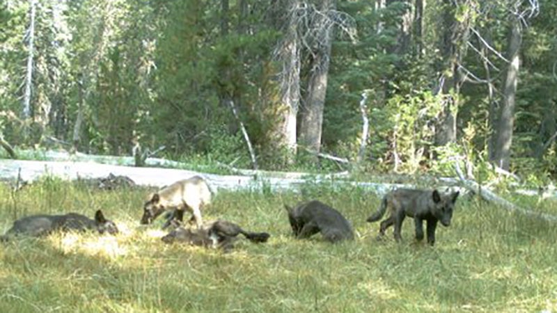 Wolf Puppies Found In California For The First Time In A Century