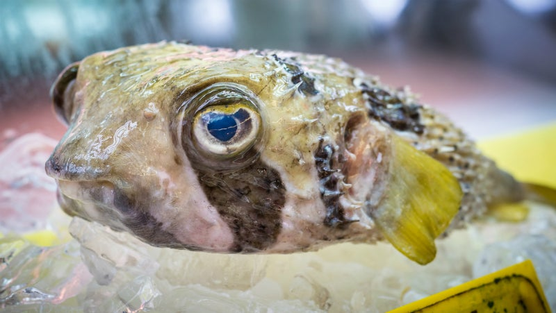 Japan's Ultra-Poisonous Pufferfish Holds The Key To The Pain Killers Of The Future