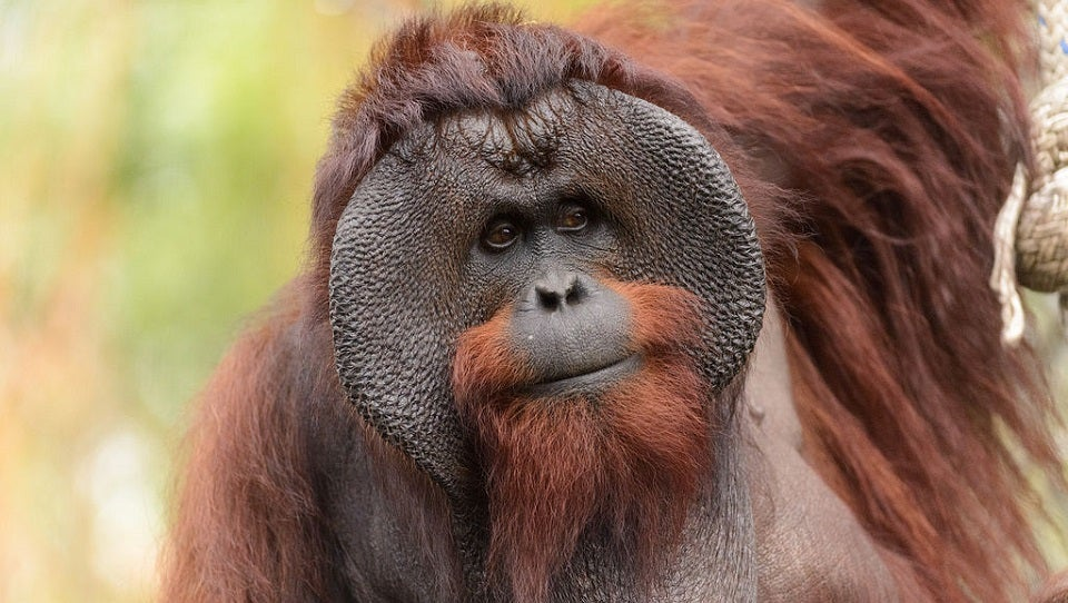 A Wild Female and Male Orangutan Teamed Up To Murder Another Orangutan