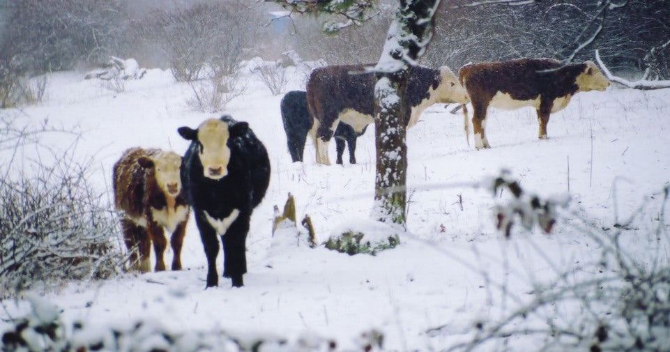 35,000 Dairy Cows Were Buried Alive By a Freak Blizzard in Texas