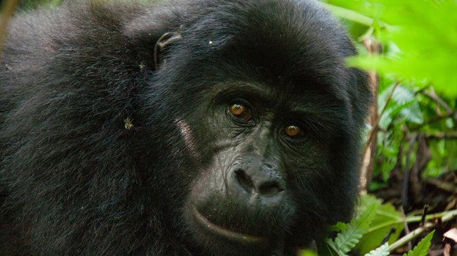 Chimps and gorillas need an Ebola vaccine too