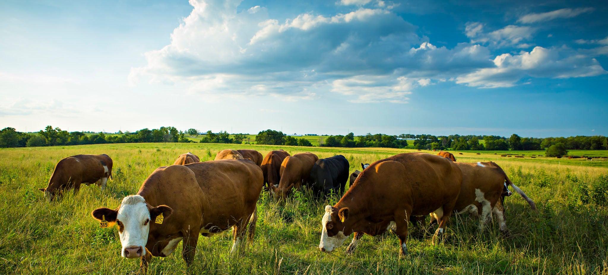 Cattle Yard Aroma Carries Antibiotics And Antibiotic-Resistant DNA