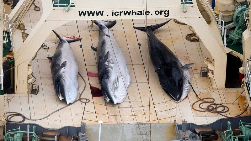 Japan Slaughtered 333 Whales in 'Scientific' Expedition