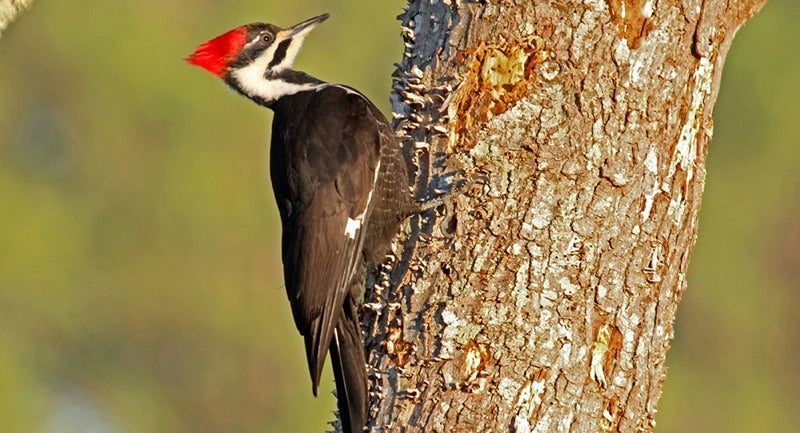 New Video Series Explains Why Woodpeckers Are Built To Peck