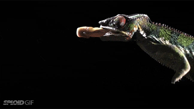 Your Supercar Has Nothing On This Tiny Chameleon's Tongue