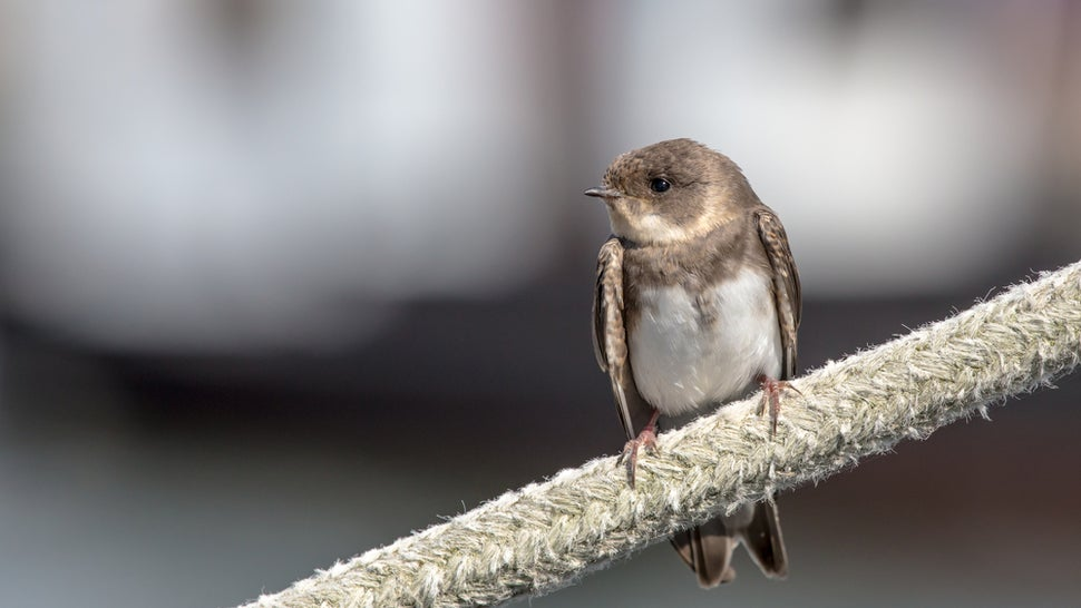 Male-On-Male Necrophilia Among Birds May Be a Case of Mistaken Identity
