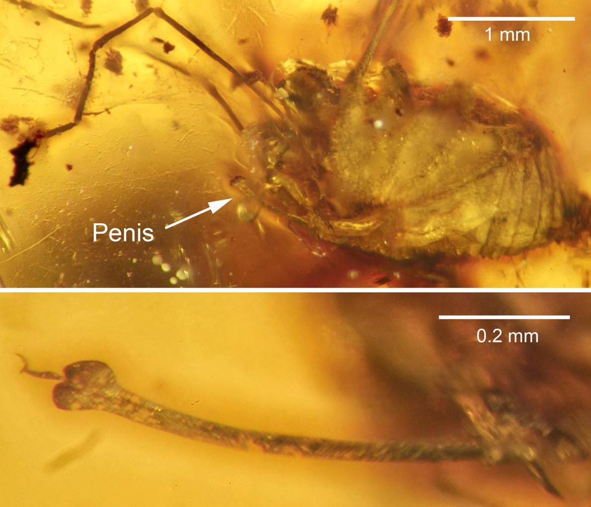 Behold the First Erect Penis Ever Found Preserved in Amber