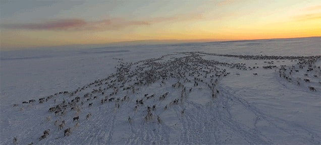 Seeing the Migration of Thousands of Reindeers in the Winter Is Totally Majestic