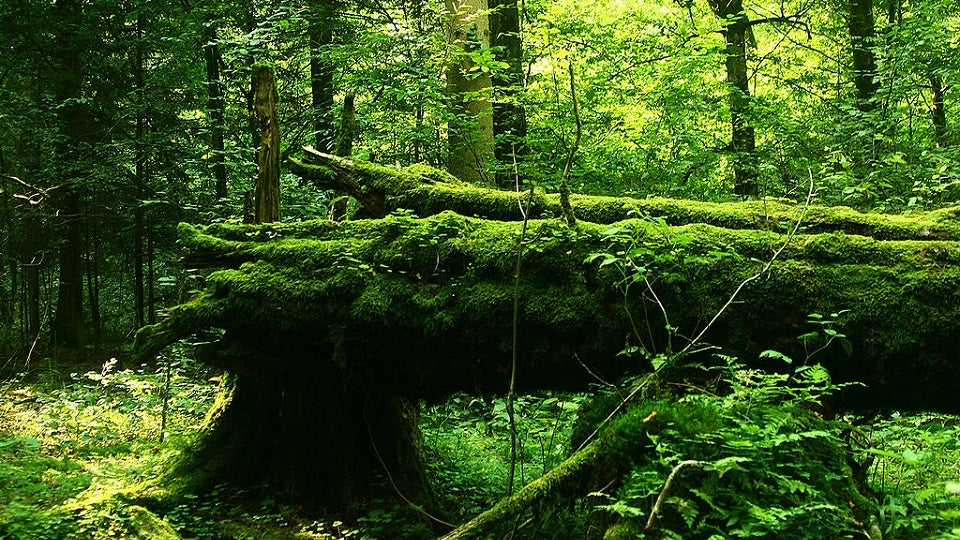 Major Logging Will Begin in the Last Primeval Forest in Europe