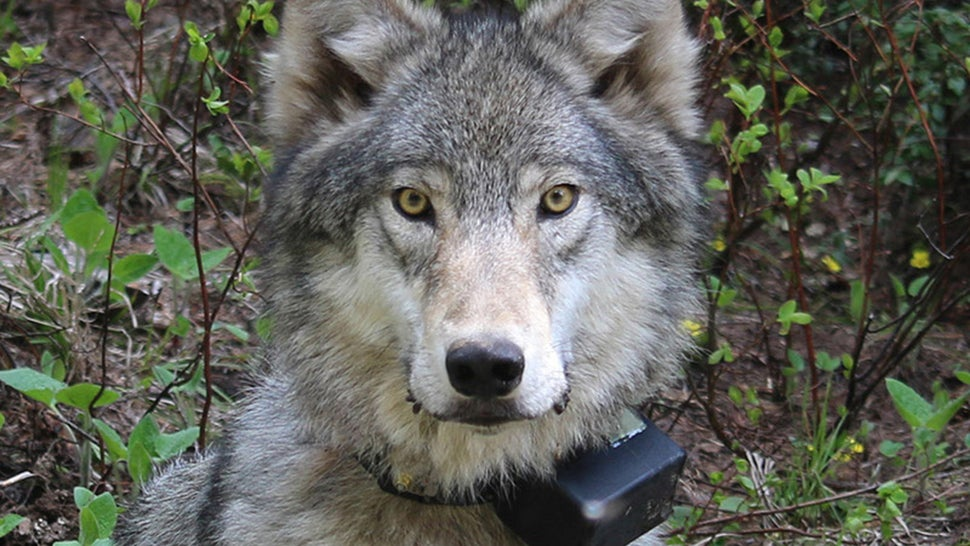 drone use in australia with The Gray Wolf Is The Only True Wolf In North America on 540924605218518338 together with Could Your Next Uber Be A Multicopter besides Asian hor  outbreak over in addition Drone Crash Holidays together with Lg Display Transparent Tv.
