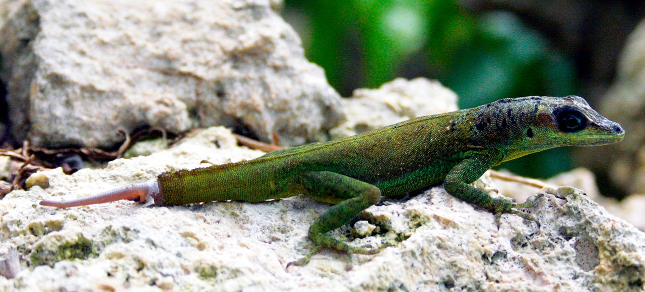 How Lizard Tails Could Help Scientists Study Human Limb Regeneration