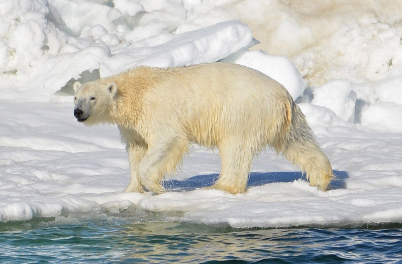 Russian Scientists Stationed At Lonely Arctic Outpost Now Also Surrounded By Bears