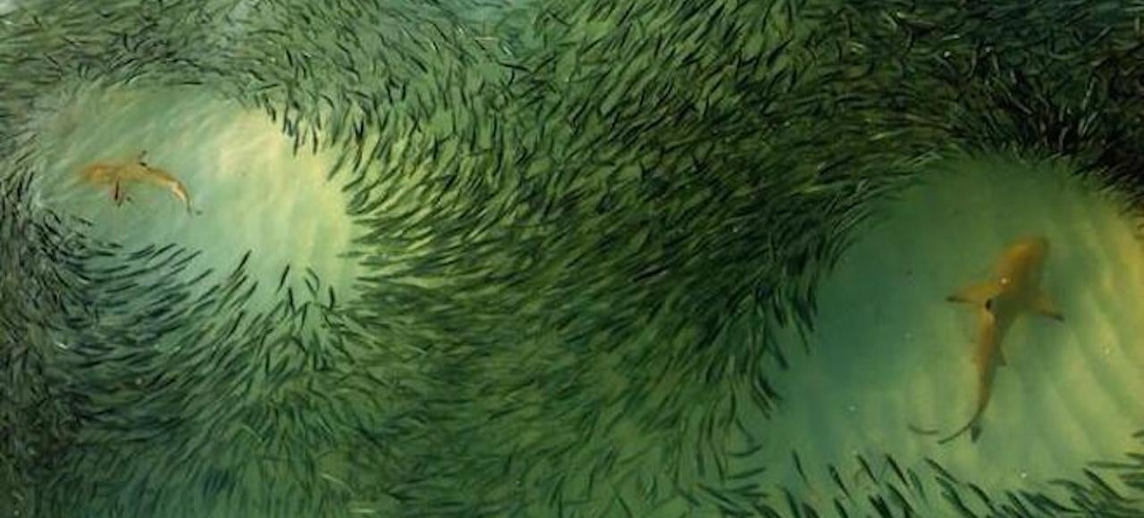 What happens when you throw four sharks into a giant for School of fish lure