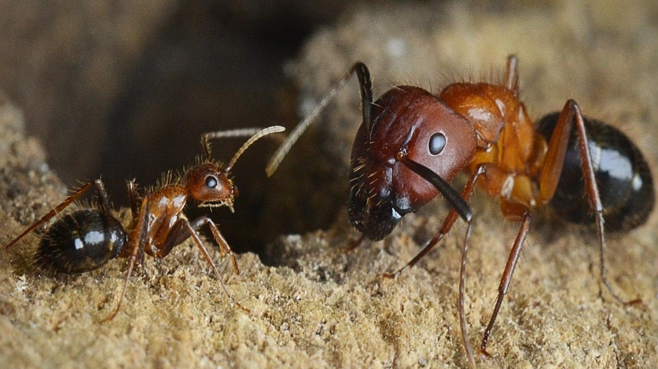 Someday Scientists Could Reprogram Carpenter Ants To Do Our Bidding