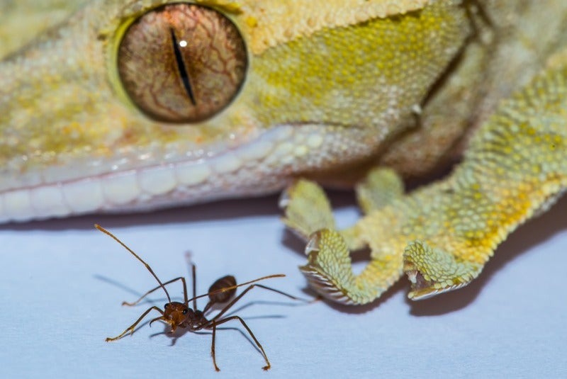 Sorry, Spiderman: Geckos Are Largest Animals That Can Stick to Walls