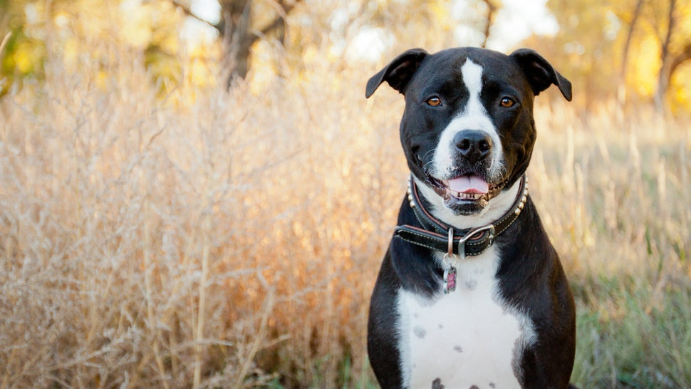 A Shocking Number of Dogs in Shelters Are Misidentified as 'Pit Bulls'