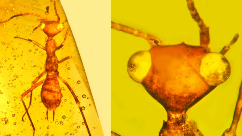 Dinosaur-Era Insect Found Preserved In Amber Looks Like An Alien