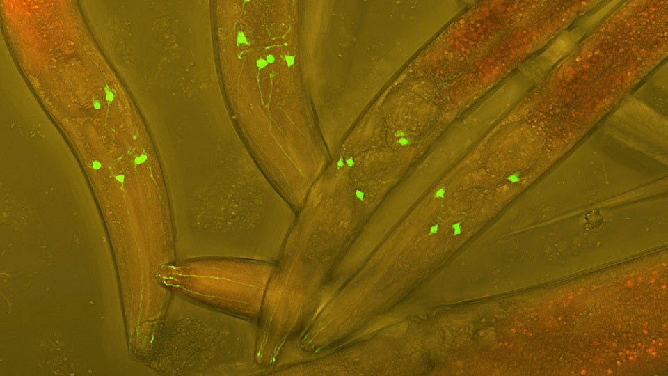 Why Self-Fertilizing Worms Have Shorter Lifespans