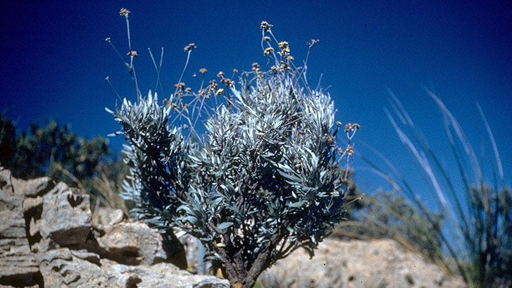 Why Rubber Companies Suddenly Care About This Obscure Desert Shrub