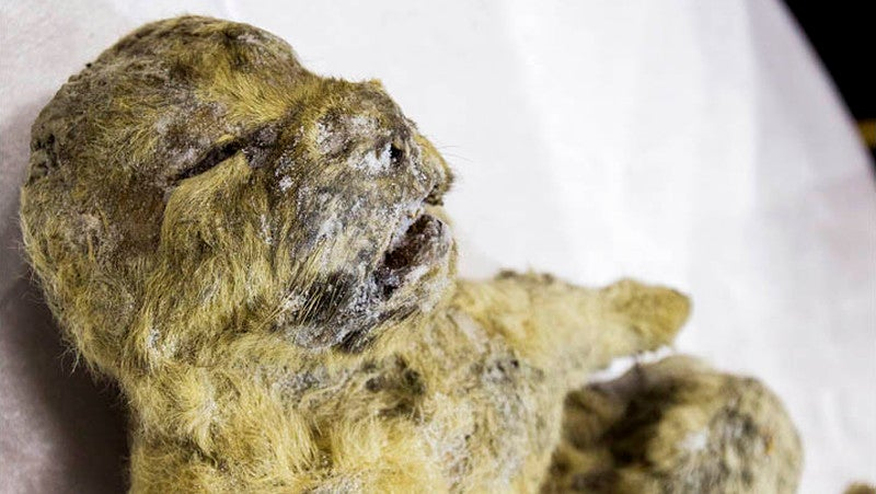 Bellies of Frozen Lion Cubs May Still Contain 12,000-Year-Old Mother's Milk