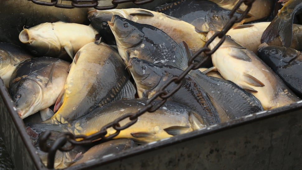 Australia Will Fight Its Pesky Fish Population With $15 Million Worth Of Herpes