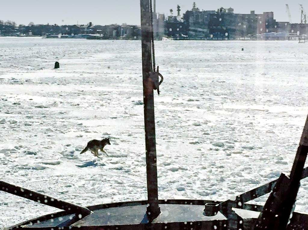 A lone coyote running across the frozen waters of the Boston Bay