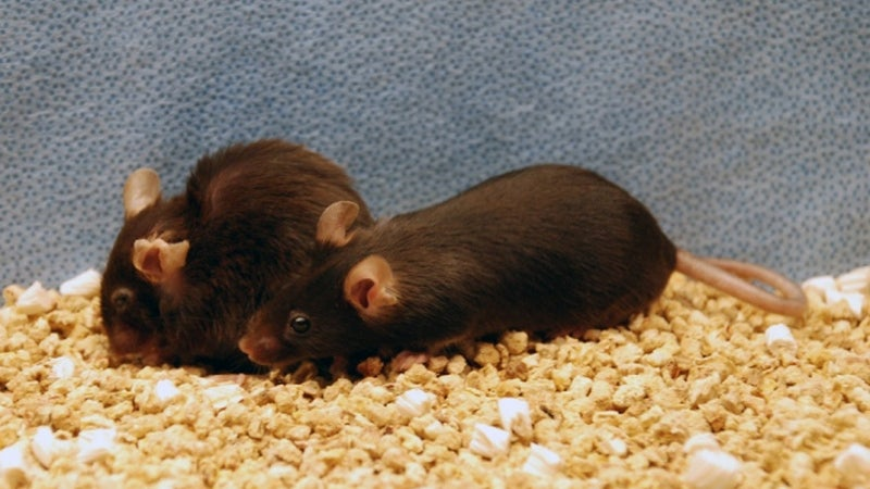 Promising New Therapy Extends Lifespans of Mice by 35 Per cent