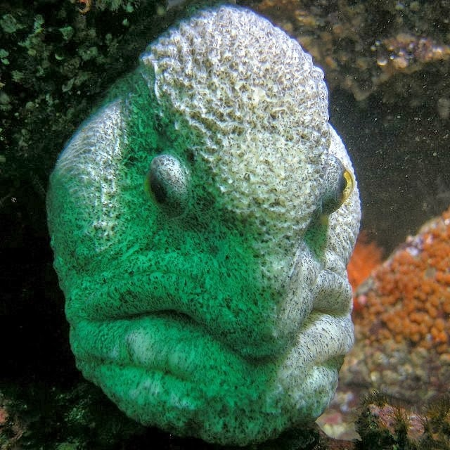 The ugliest animal in the world has to be this wolf eel
