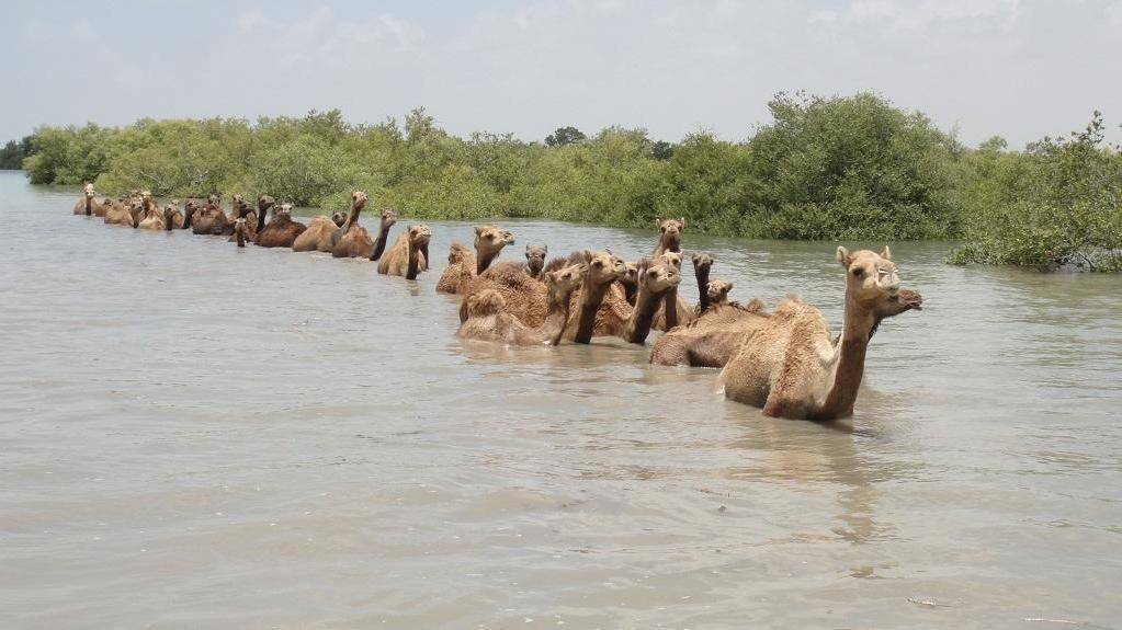 The Fight To Save The Last Swimming Camels On Earth