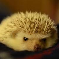 ferrethead