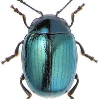 beetle-comma-the
