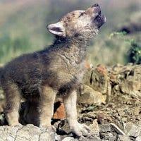 blaise-wolf-aka-lilspyguy