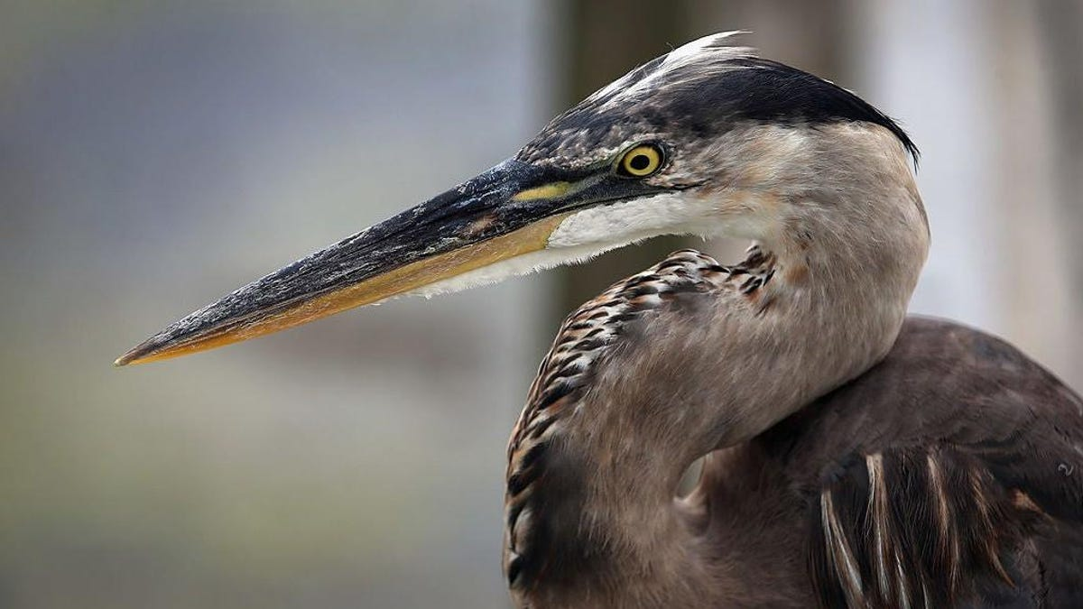 Great blue heron becomes NYC hero for eating a big, wet rat