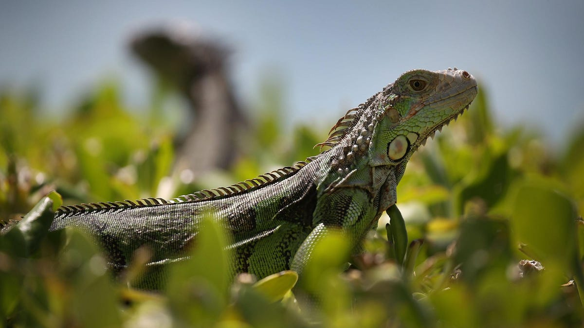 Florida 'Tag Your Reptile Day' to End Invasive Species Reign of Terror