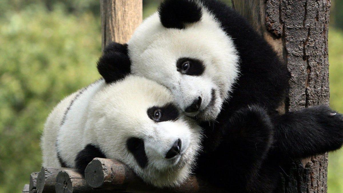 Graban por primera vez a una pareja de pandas salvajes apareándose