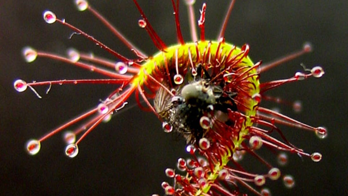 """Plant Cells """"Talk"""" With Electric Signals, Too"""