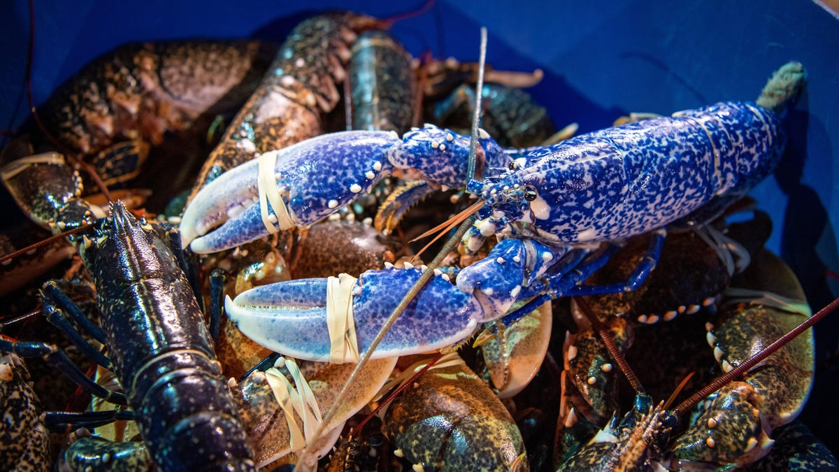 Lobsters Have Been Hiding Their Ages From Us. No More